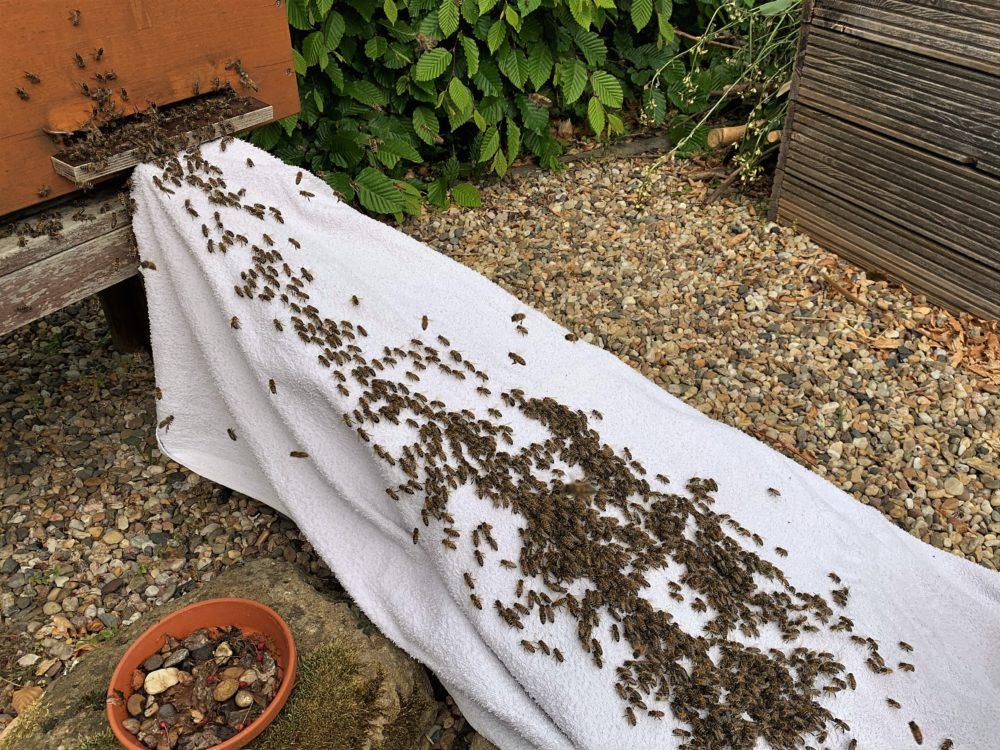 Bienen laufen über ein weißes Tuch in einen Bienenstock ein