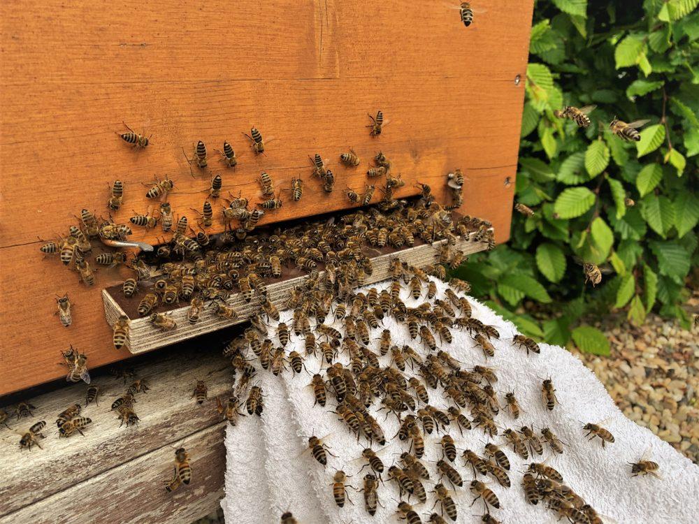 Bienen vor dem Flugloch der Bienenbox beim Einlaufen